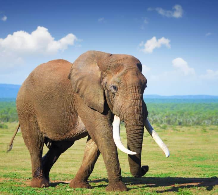 An Elephant At Addo National Park